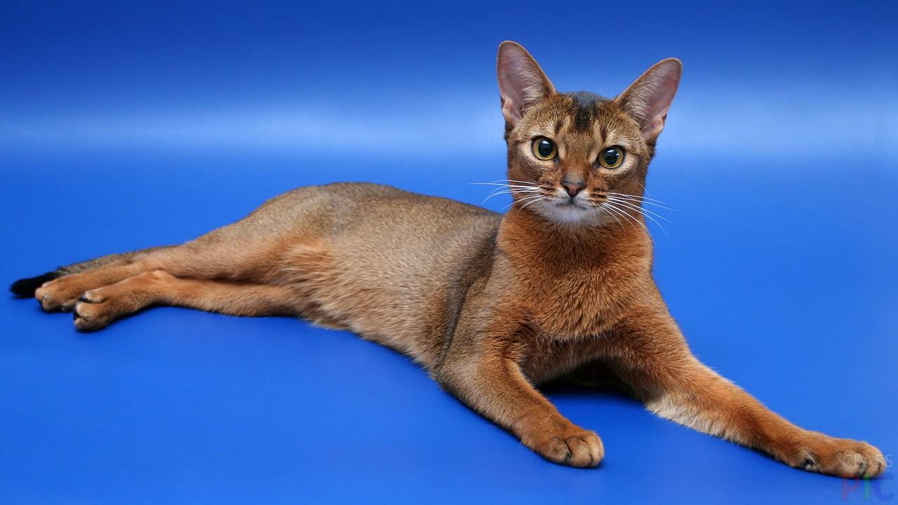 макеты карманных абиссинские котята фото подготовила небольшой пост