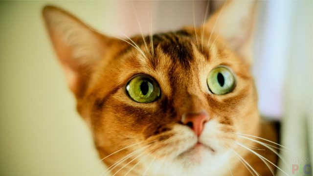 Абиссинская кошка (27 фото)