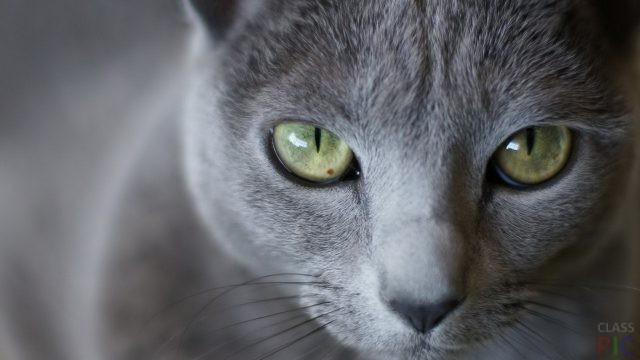 Русская голубая кошка (29 фото)