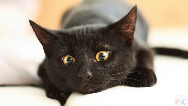 Чёрные кошки (38 фото)