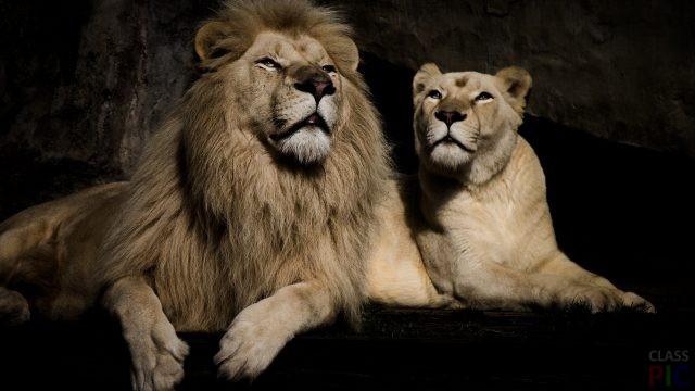 Лев и львица (29 фото)