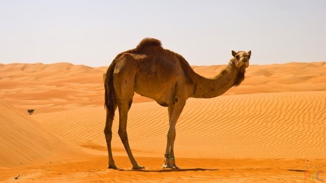 Верблюд (37 фото)