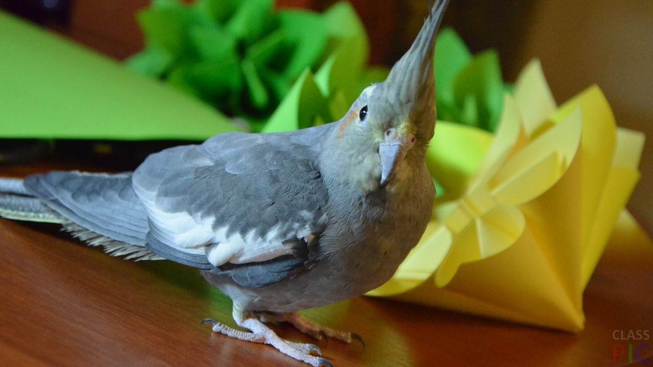 Попугай корелла (23 фото)