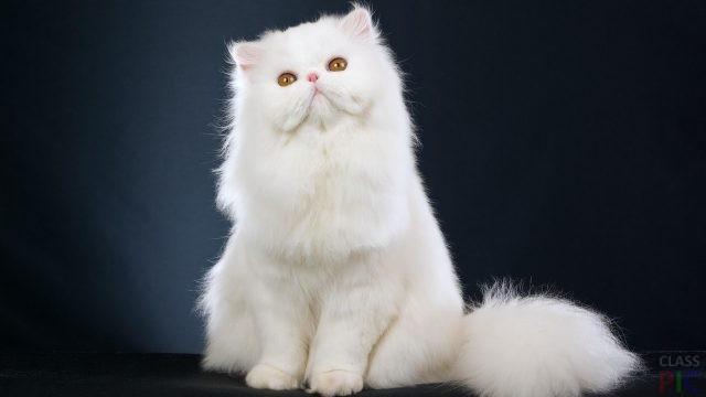 Персидская кошка (31 фото)