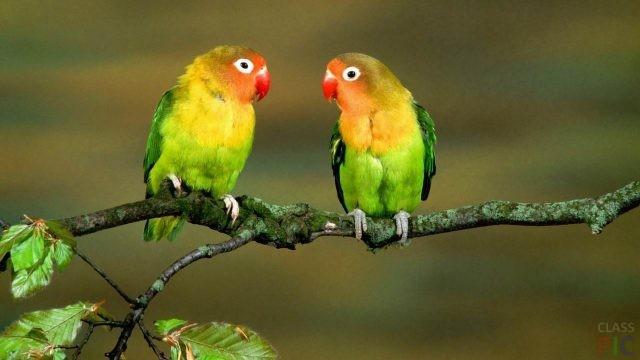 Попугаи неразлучники (24 фото)