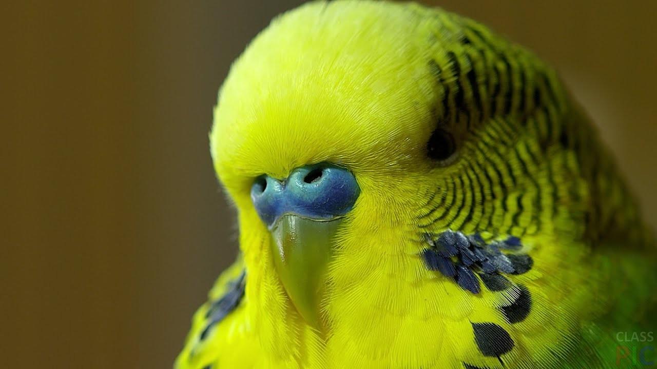 Волнистый попугай (31 фото)