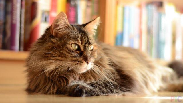 Норвежская кошка (33 фото)