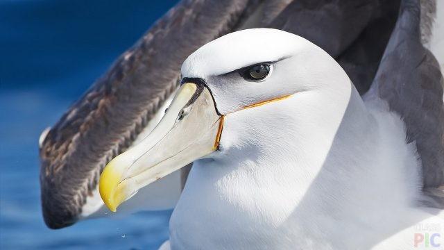 Альбатрос (31 фото)