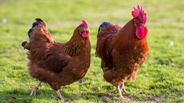 Фото домашних кур