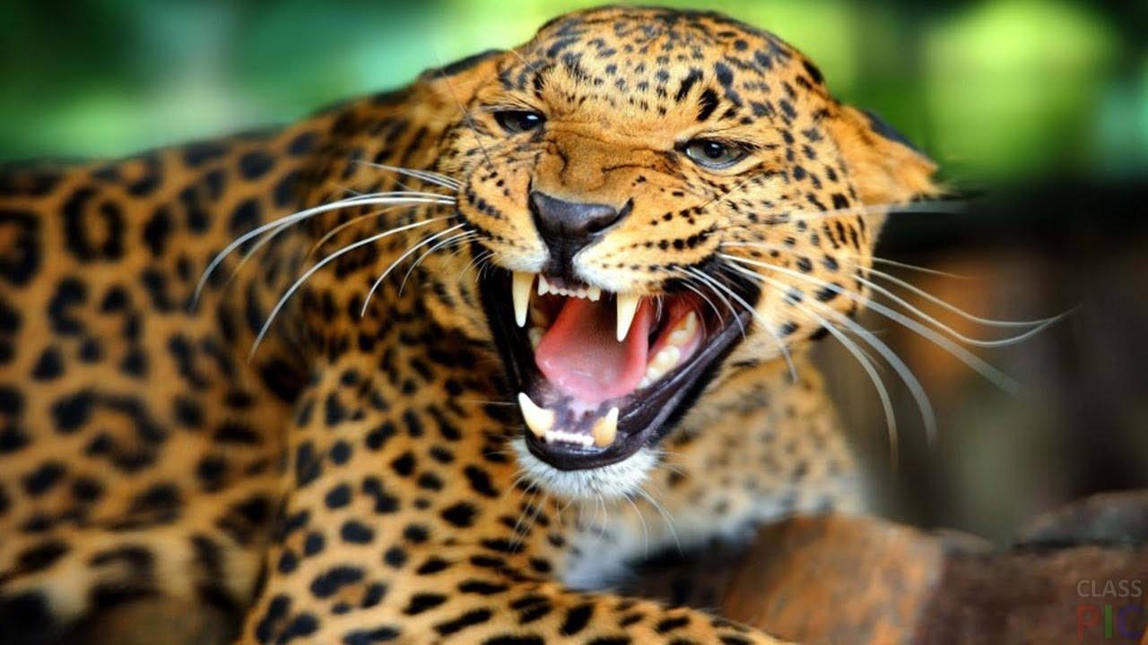 Леопард (39 фото)