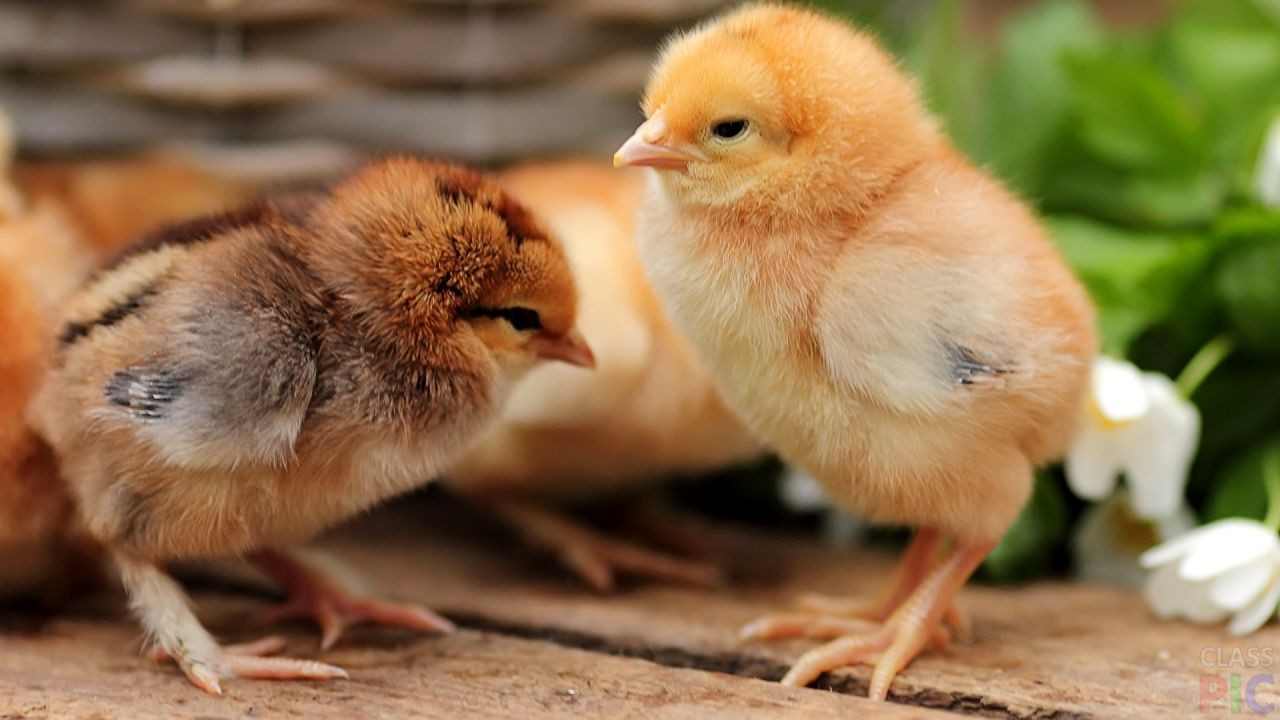Цыплята (27 фото)