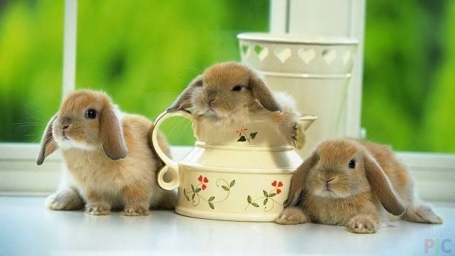 Декоративные кролики (41 фото)