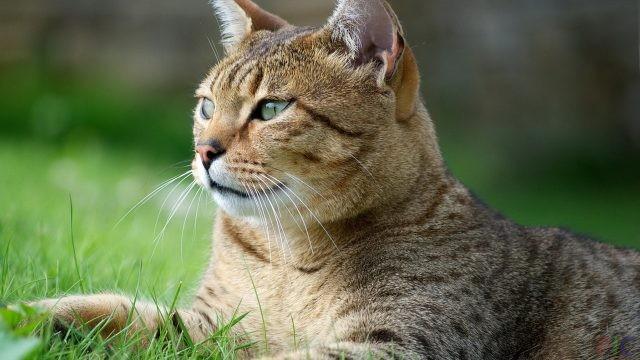 Египетская кошка (28 фото)